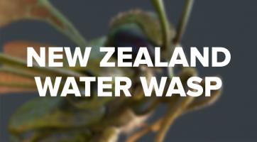 Gustav Brix Torø - New Zealand Water Wasp