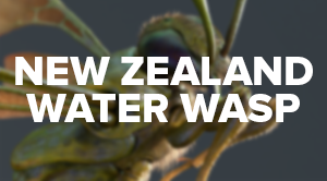 Gustav Brix Torø - New Zealand Water Wasp